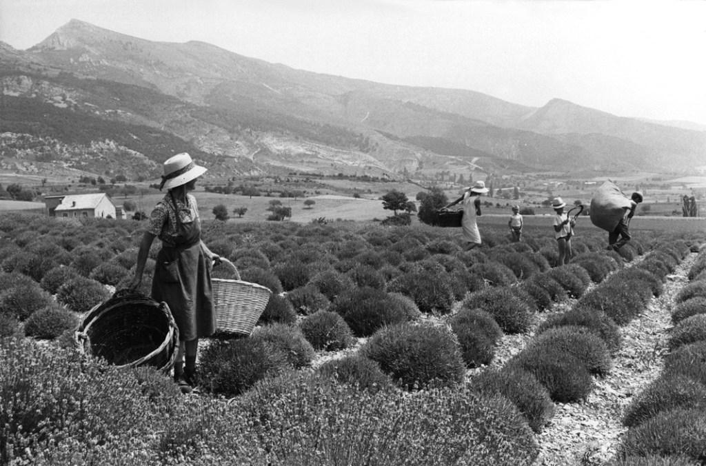 FRANCE. Rhône-Alpes. Drôme. Col des Tourettes. 1969. Lavender field.