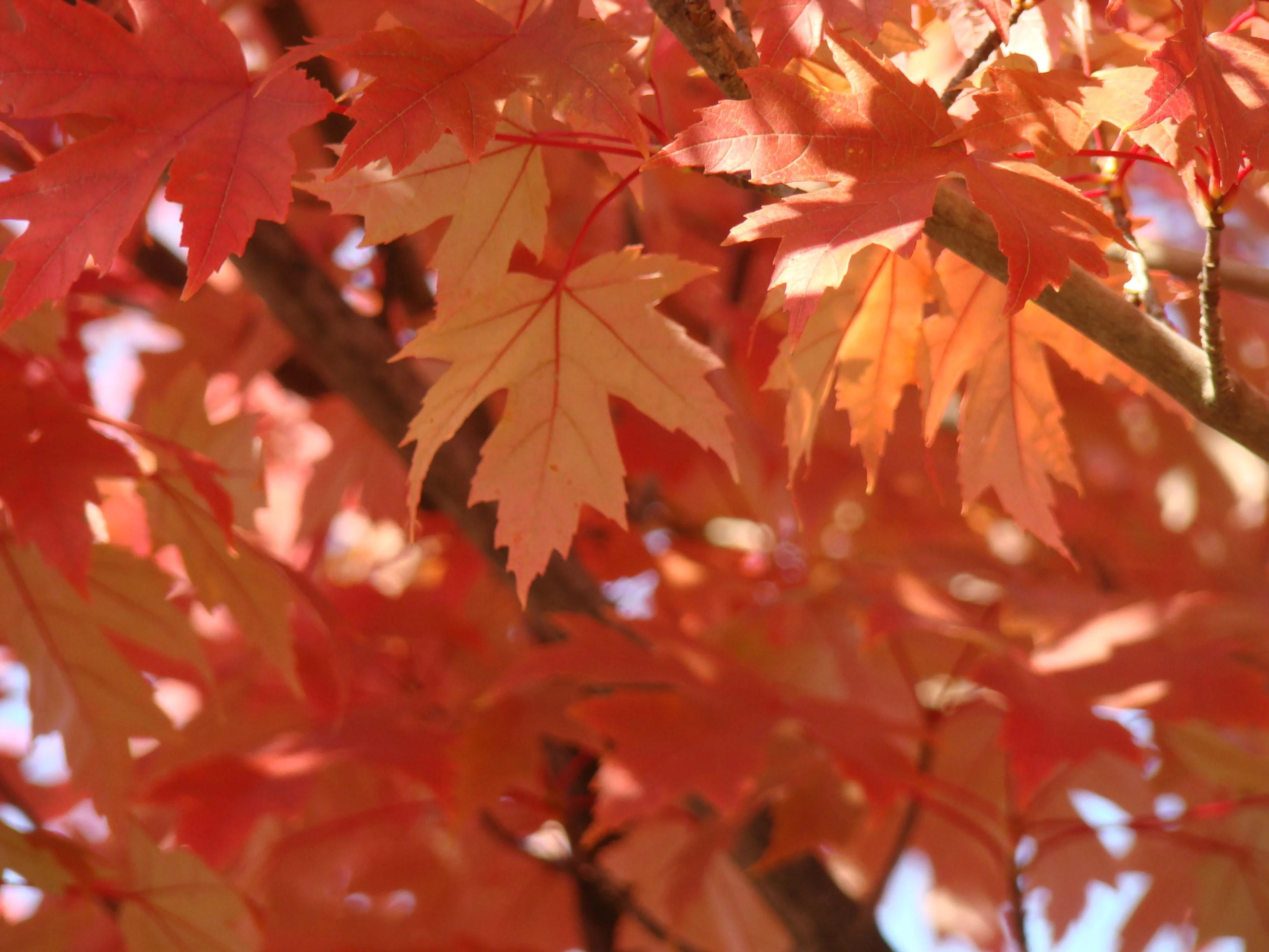 Birch Tree Fall Wallpaper Fall Trees Art Prints Gifts Orange Autumn Leaves Baslee