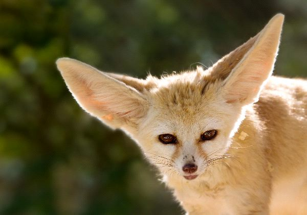 Cute Dachshund Wallpaper Fennec Fox Close Up Fox Facts And Information