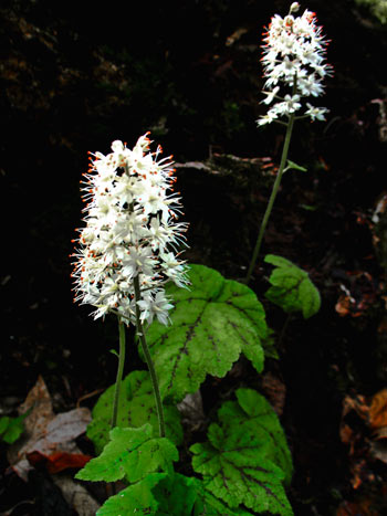 Foamflower, a member of the rock-loving Saxifrage family