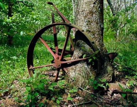 A Cherry tree has overtaken an old farm utensil in an abandoned field