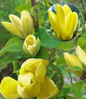 Duft-Magnolie ´Yellow Bird´,1 Pflanze
