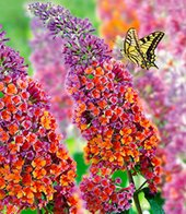 Buddleia ´Flower Power´,1 Pflanze