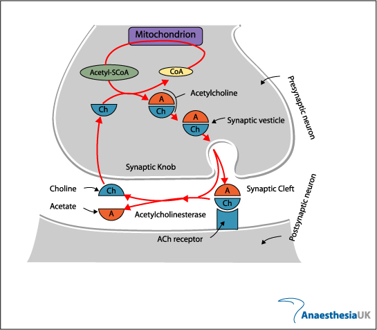 Anaesthesia UK  The neuromuscular junction - neuromuscular junction