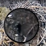 Bigfoot seen on Michigan eagle nest camera