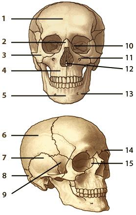 Free Anatomy Quiz - The Human Skull, Quiz 1