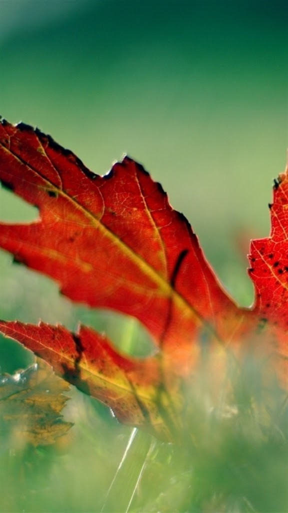 Iphone 5 Falling Snow Wallpaper Red Maple Leaf Wallpaper Free Iphone Wallpapers