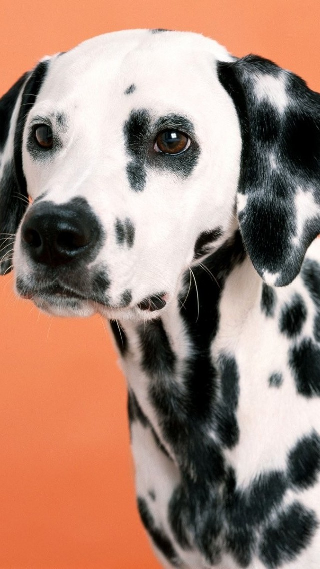 Free Fall Season Wallpapers Small Dalmatian Iphone 6 6 Plus And Iphone 5 4 Wallpapers