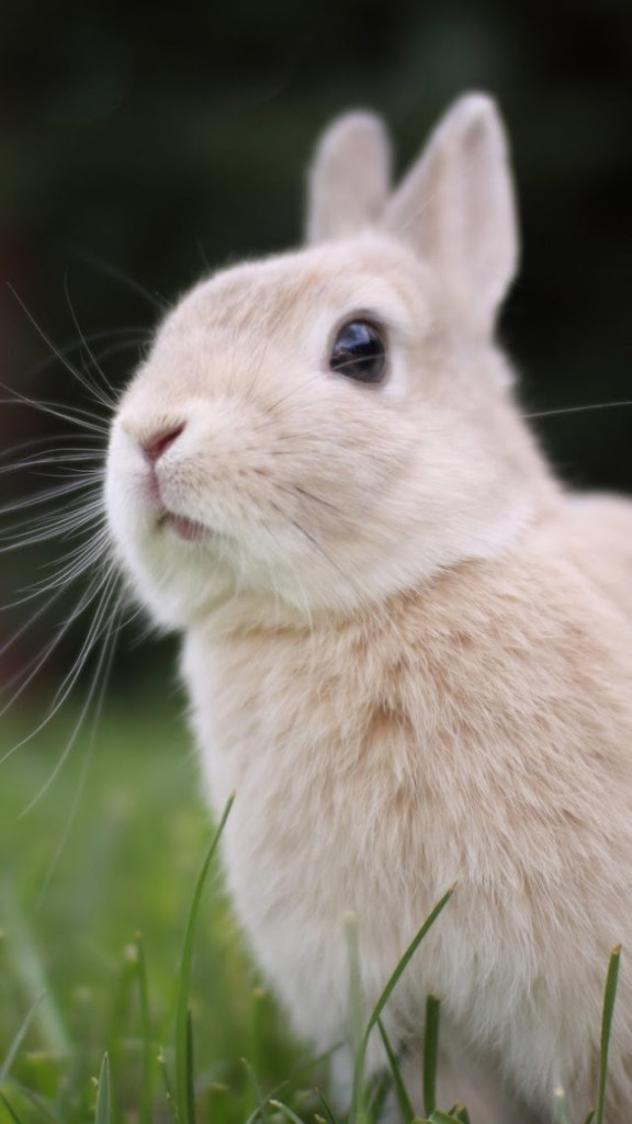 Cute White Baby Rabbits Wallpapers Small Gray Rabbit In The Grass Wallpaper Free Iphone
