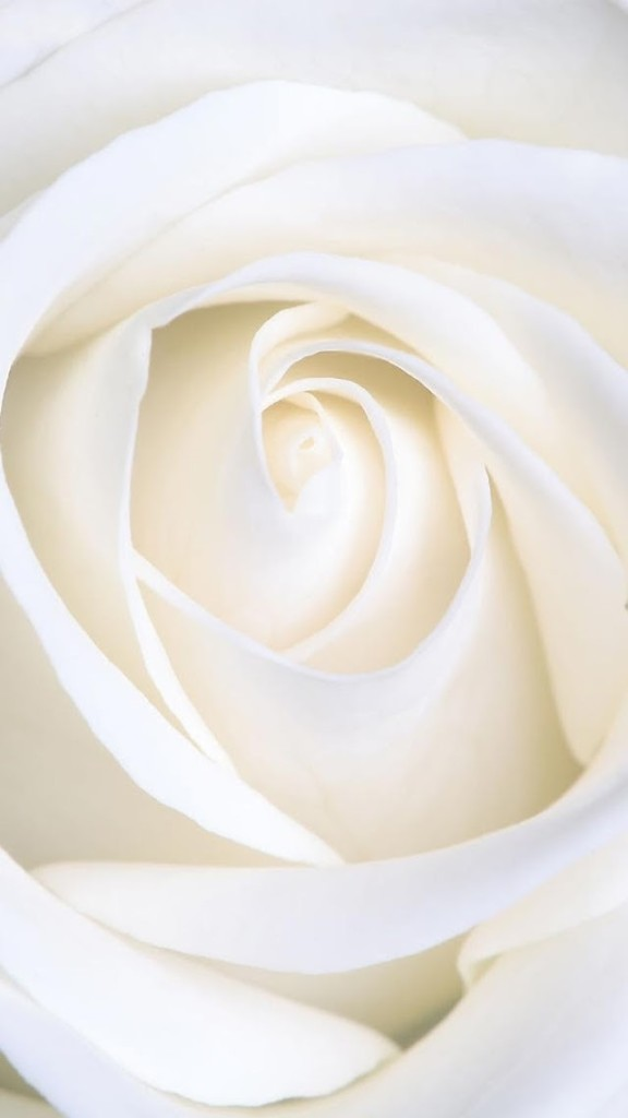 Iphone 4s Default Wallpaper Pure White Rose Wallpaper Free Iphone Wallpapers