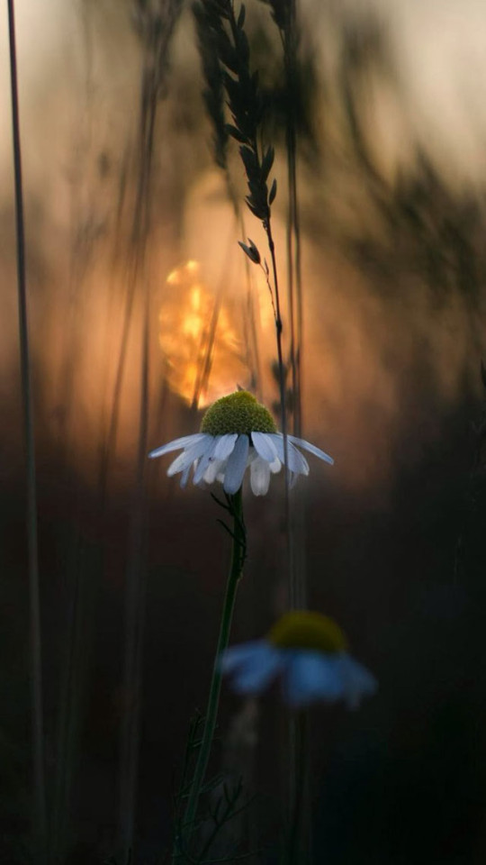 Download 3d Wallpaper Parallax White Wildflowers At Twilight Wallpaper Free Iphone