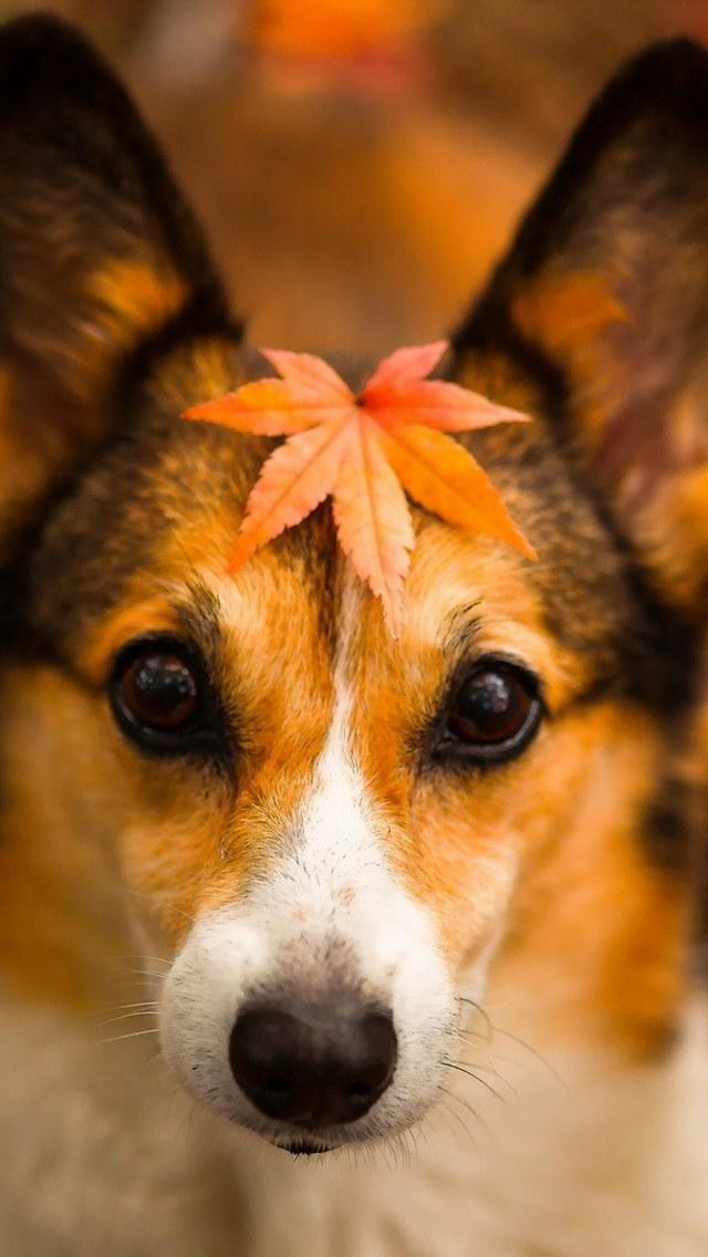 Fall Feather Wallpaper Cute Puppy In Autumn Iphone 6 6 Plus And Iphone 5 4