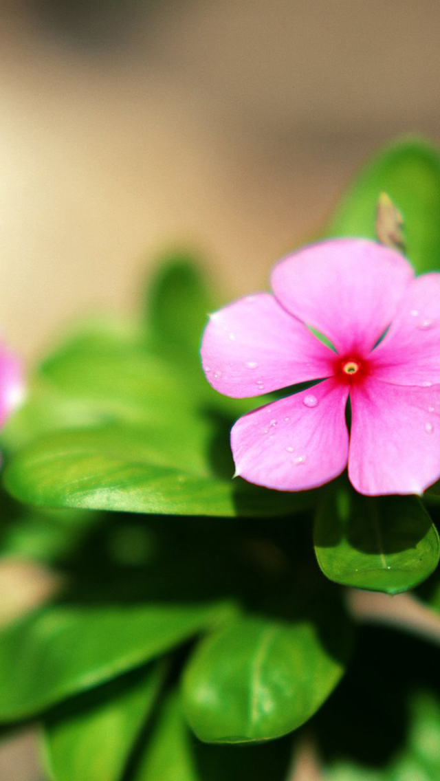 3d Pink Flower Wallpaper Pink Flower Green Leaves Iphone 6 6 Plus And Iphone 5 4
