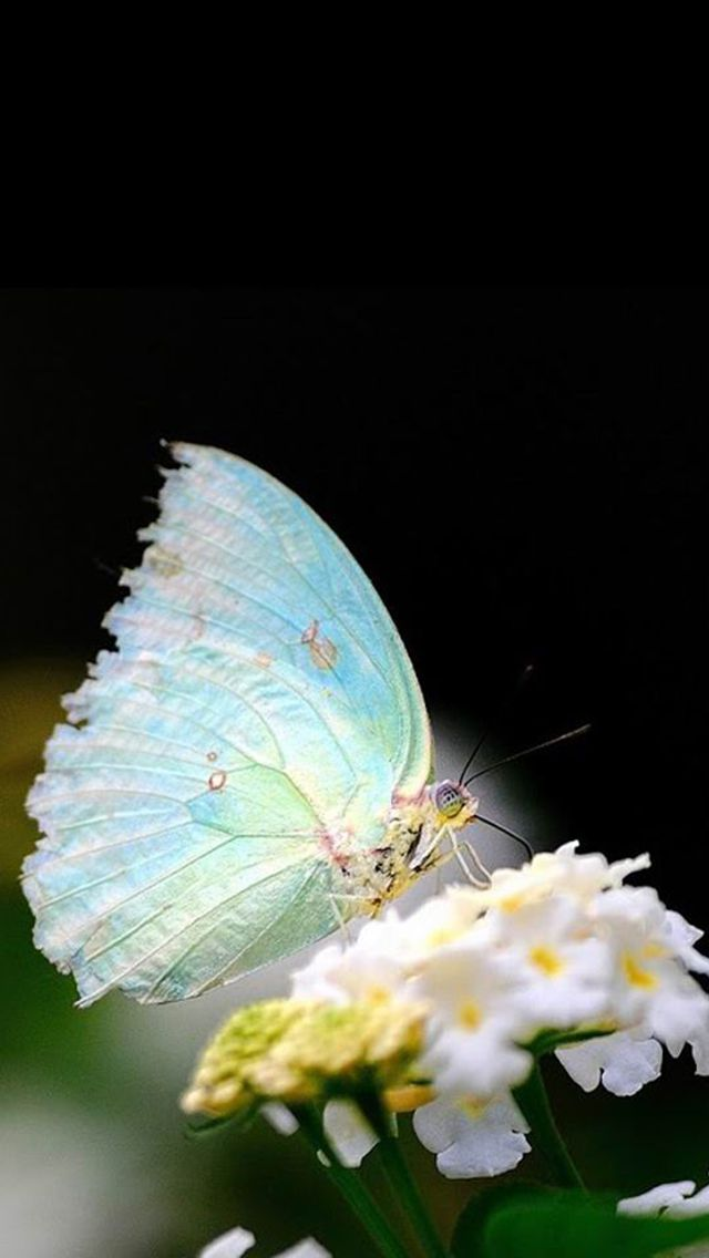 Butterfly Wallpaper Hd 3d Light Blue Butterfly Iphone 6 6 Plus And Iphone 5 4
