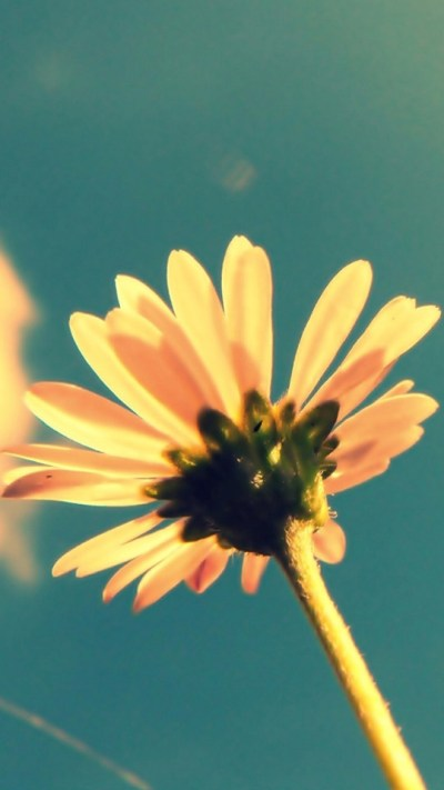 Small Yellow Flower In The Sun Wallpaper - Free iPhone Wallpapers