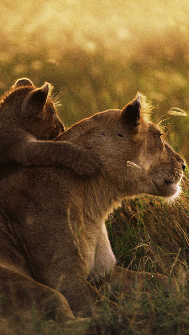 Cute Love Wallpaper Iphone 4s Lion Family Wallpaper Free Iphone Wallpapers