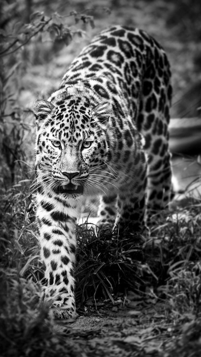 Iphone Wallpapers Hd Zedge Leopard Black And White Iphone 6 6 Plus And Iphone 5 4