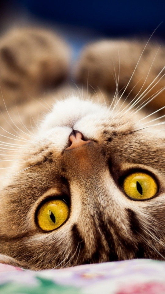 Cute Heart Wallpapers For Iphone 6 Cat Lying Down Wallpaper Free Iphone Wallpapers