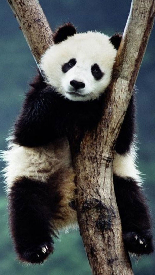 Download 3d Wallpaper Parallax Cute Panda Iphone 6 6 Plus And Iphone 5 4 Wallpapers