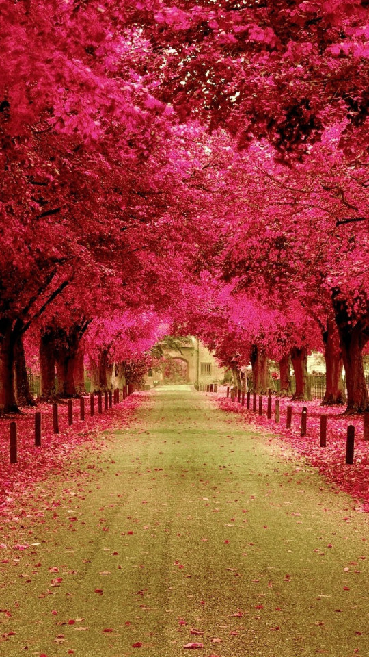 Free Fall Color Wallpaper Pink Trees Walkway Wallpaper Free Iphone Wallpapers