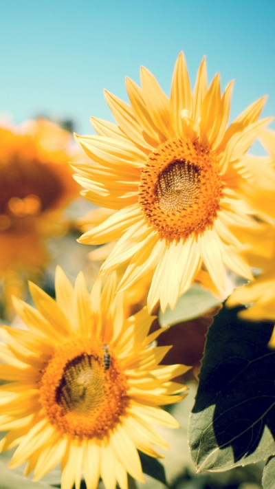Sunflower Garden iPhone 6 / 6 Plus and iPhone 5/4 Wallpapers