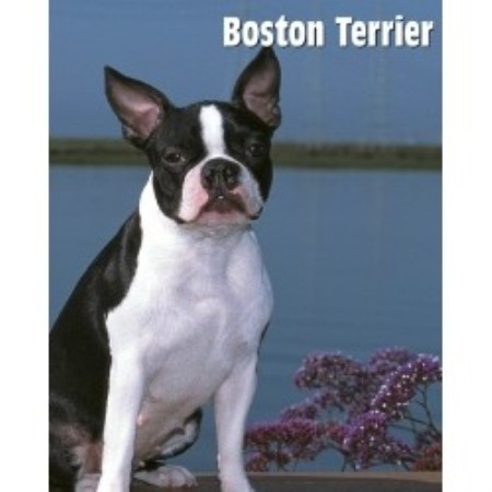 Image For Boston Terrier Stud Service Canada