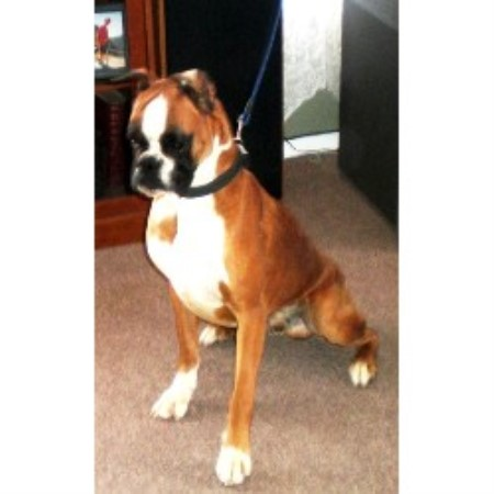 Image For Boxer Puppies And Dogs For Sale In Indiana Usa