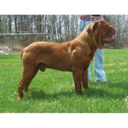 Image For Dogue De Bordeaux Save A Rescue