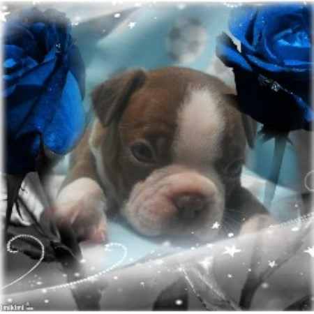 Image For Boston Terrier Stud Service Texas