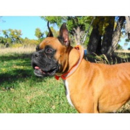 Image For White Boxers For Sale In Indiana