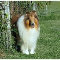 Image For Border Terrier Rescue Ontario Canada
