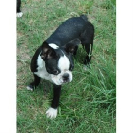 Image For Boston Terrier Stud Service California