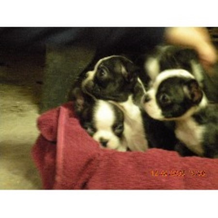 Image For Boston Terrier Stud Service Florida