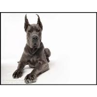 Image For Dogue De Bordeaux For Sale Near Me