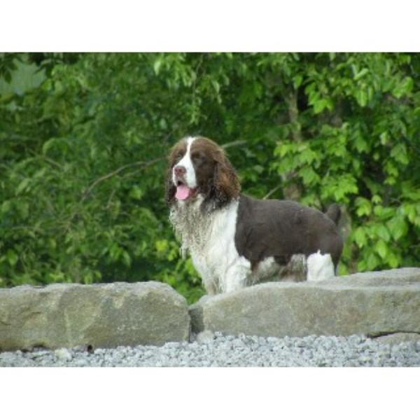 Image For Dogue De Bordeaux For Sale Ohio