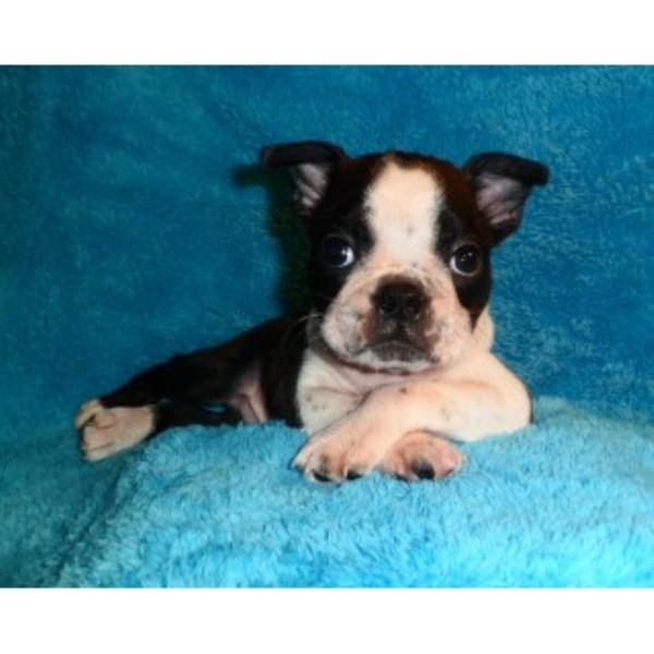 Image For Boston Terrier Stud In Ontario
