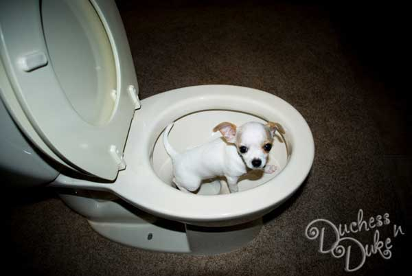 Puppy-Potty-Training - the online dog trainer doggy dan