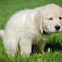how to train a labrador puppy to potty
