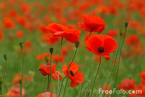 Rose Flower Garden Hd Wallpaper Poppies Pictures Free Use Image 12 14 4 By Freefoto Com