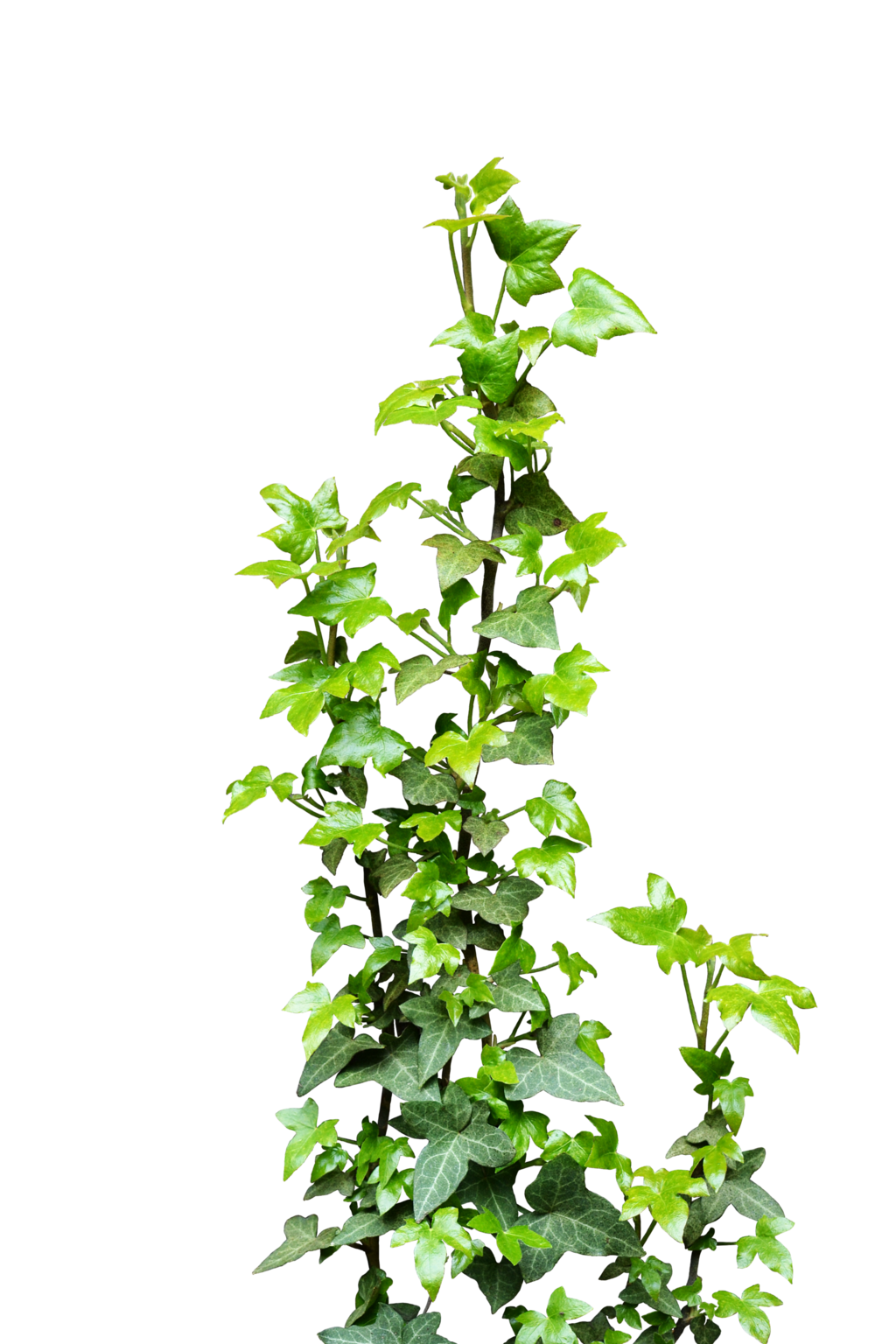 Tree With Leaves Falling Wallpaper Ivy Transparent Png Pictures Free Icons And Png Backgrounds