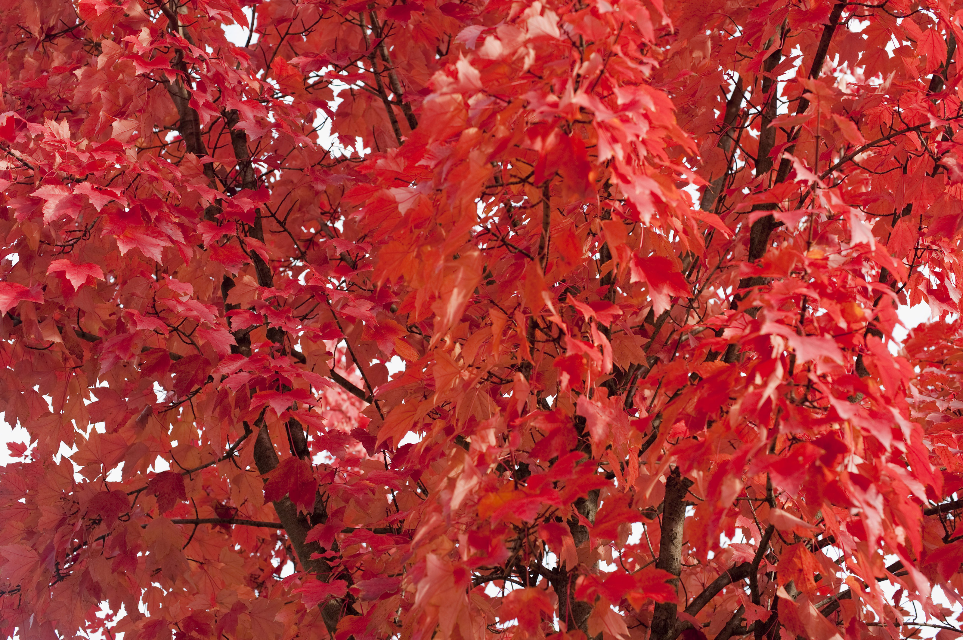 Maple Leaf Wallpaper For Fall Season Free Stock Photo 5172 Red Autumn Leaf Background