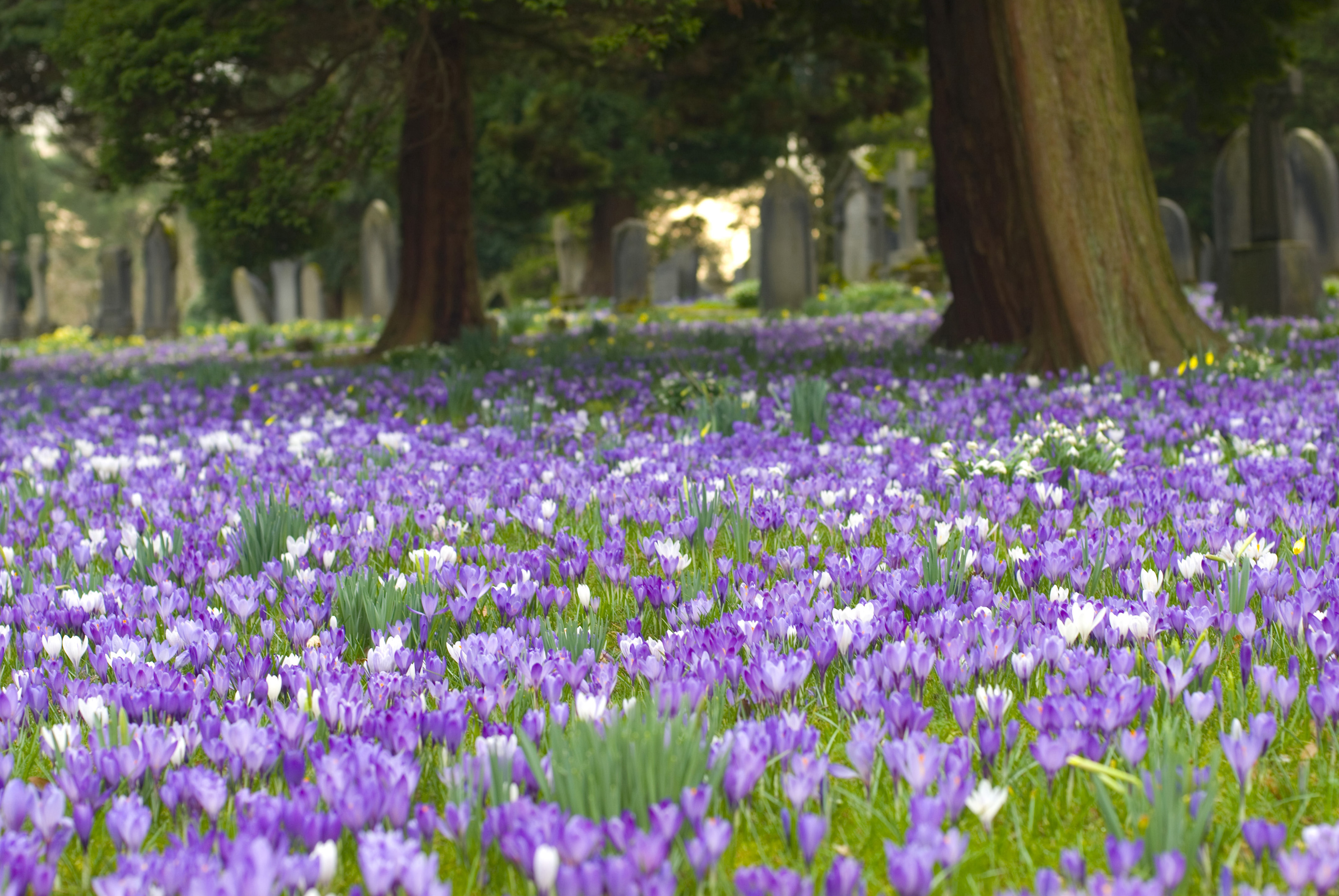 Wallpaper Hd Floral Free Stock Photo 7906 Spring Crocus In A Churchyard