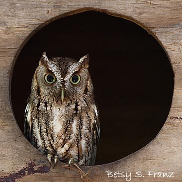 Owl, Screech