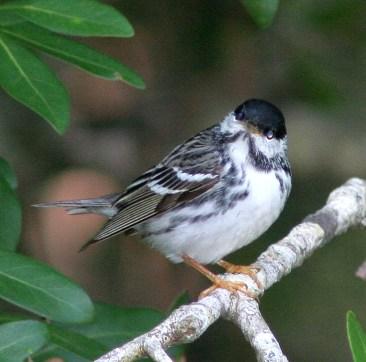Warbler, Blackpoll