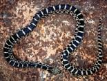 Illinois Bull Snake