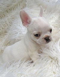 The gallery for --> Teacup Bulldog Puppies