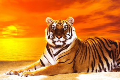 Cute Lion Cubs Hd Wallpapers Bengal Tiger Pictures And Wallpapers Collection