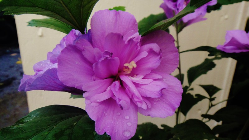 Large Of Rose Of Sharon Hibiscus