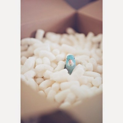 kristinep_photos blue parrotlet in packing peanuts