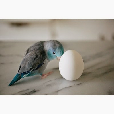 kristinep_photos blue parrotlet with an egg